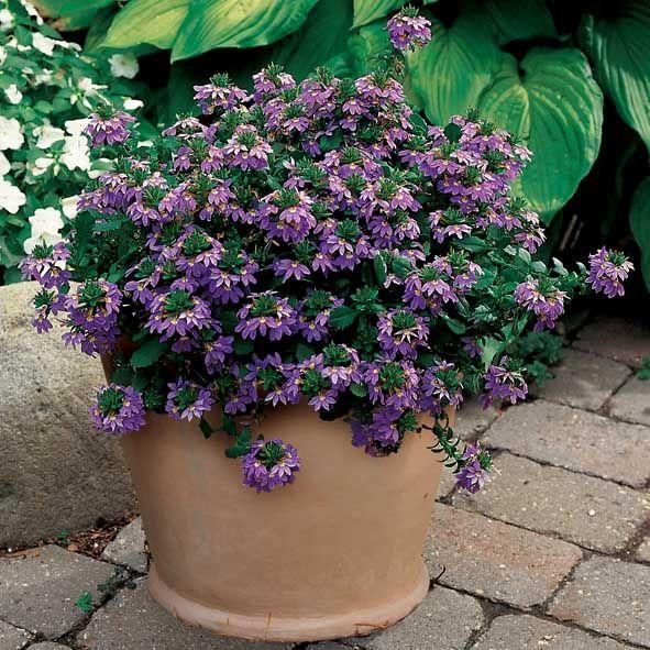 Blå Fjerblomst Krybende/hængende vækst og frodige ranker af smukke blå blomster fra slutningen ...