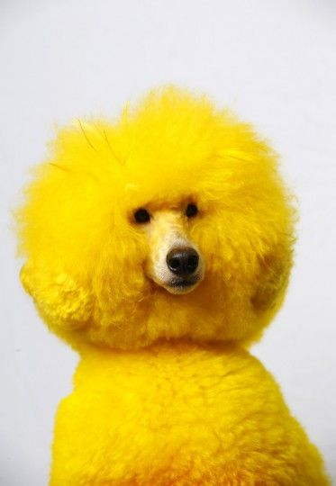 Rainbow Poodles Dog Groomer Catherine Opsons Colorful Pets