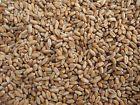 Organic Wheatgrass Seeds *BULK QTY* 1 to 20 lbs - wheat grass healthy antioxidan
