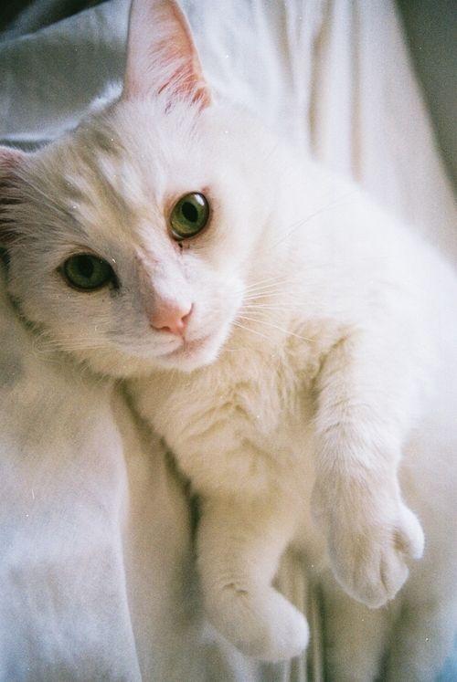 white cat tumblr best little buds pinterest white cats cat