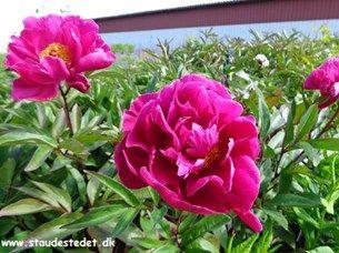 Paeonia lactiflora 'Karl Rosenfield' - Silkepæon