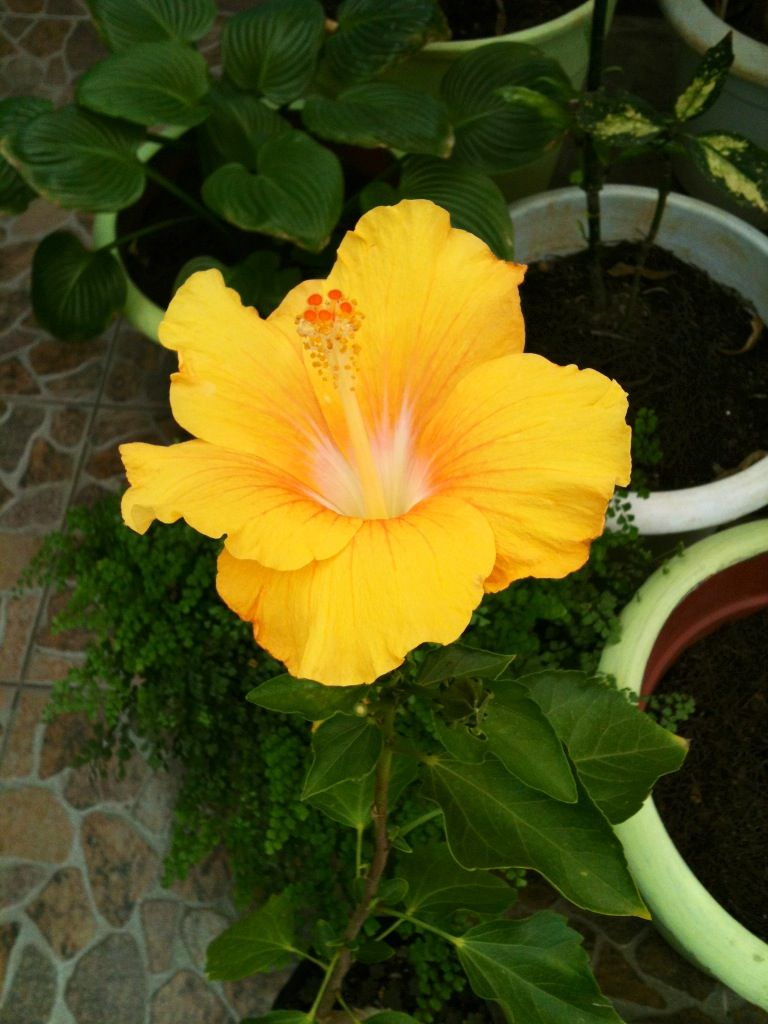 Hibisco amarillo