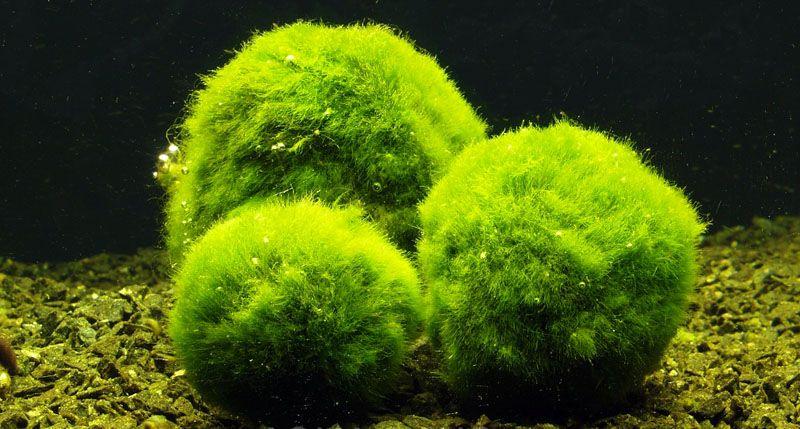 Cladophora aegagropila - Mosballen of mosbollen