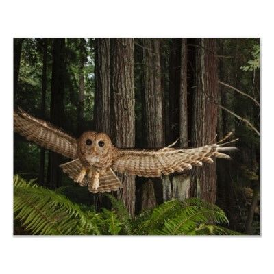 Northern Spotted Owl, Redwood Forest, California, Copyright Michael Nichols/National Geographic Stock | http://www.zazzle.com/california_poster-228140930145940963?size=%5B30.0000%2C24.0000%5D=value_posterpaper_matte=114445276501626923=113381087925757000=1.25=NationalGeographic=238706427652551388