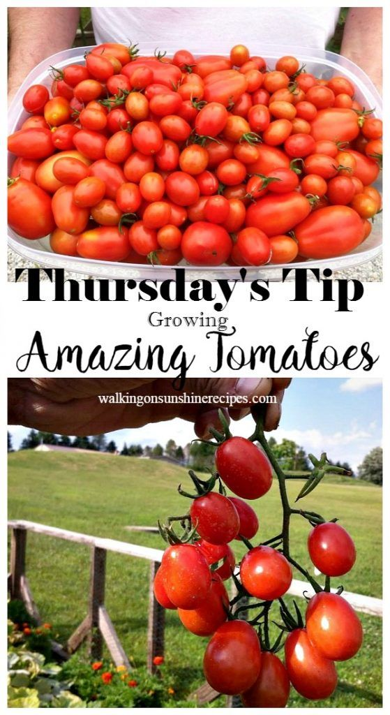 Tips on How to Grow Amazing Tomatoes | Tips for growing ...
