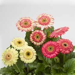 Gerbera Cartwheel Strawberry Twist F1 Gerbera Plant Gerbera Flower Seeds