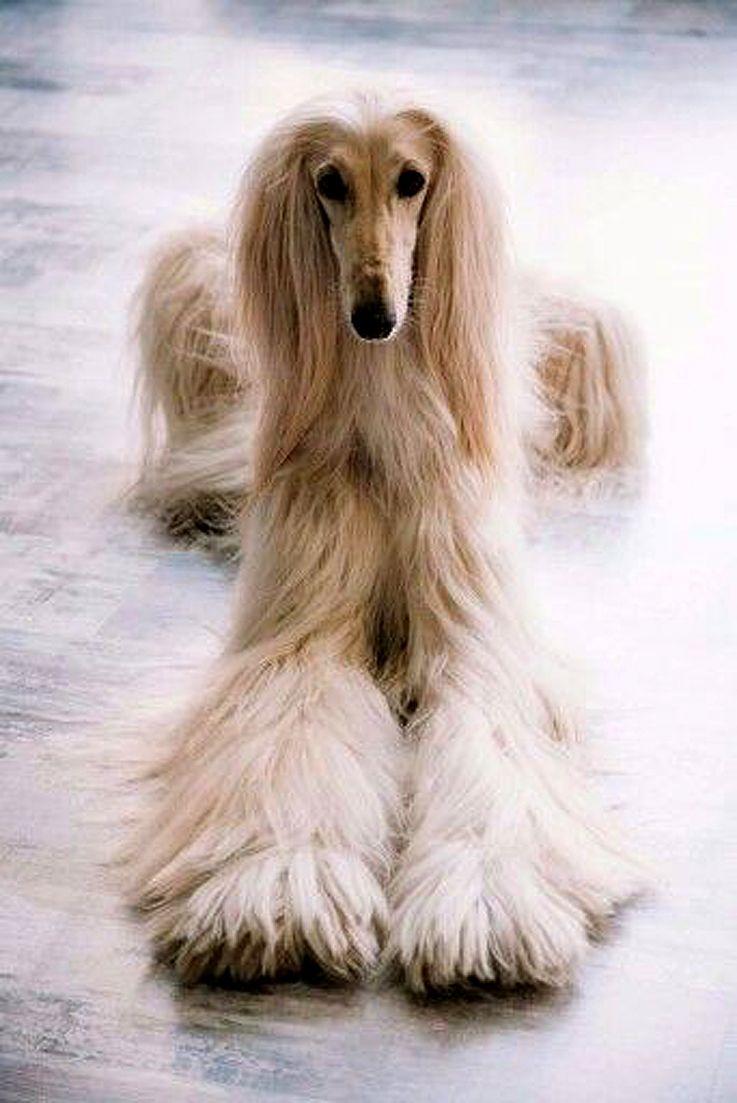 afghan hound | Afghan hound | ...