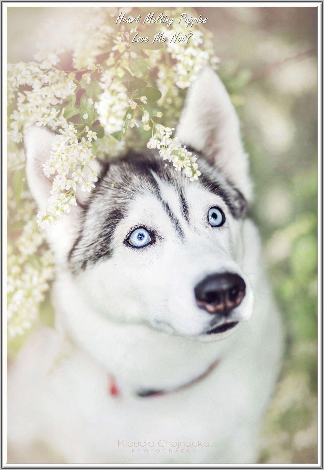 Experts Advice On Dog Care Siberian Huskies Husky Puppy Cute