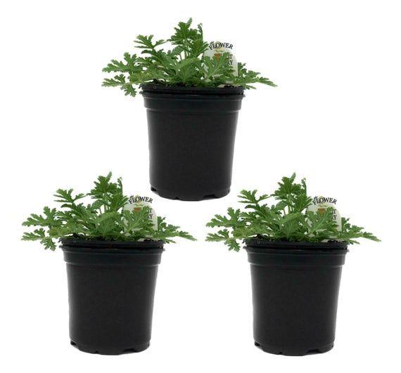 "FlowerPotNursery Citronella Mosquito Plant Pelargonium citrosum 4"" Pot (3 Pots) #mosquitoplants"