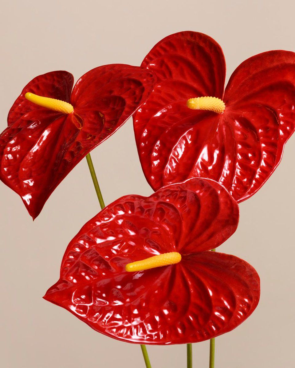 Burberry On Twitter Tropical Flower Plants Anthurium Flower Flower Art Drawing