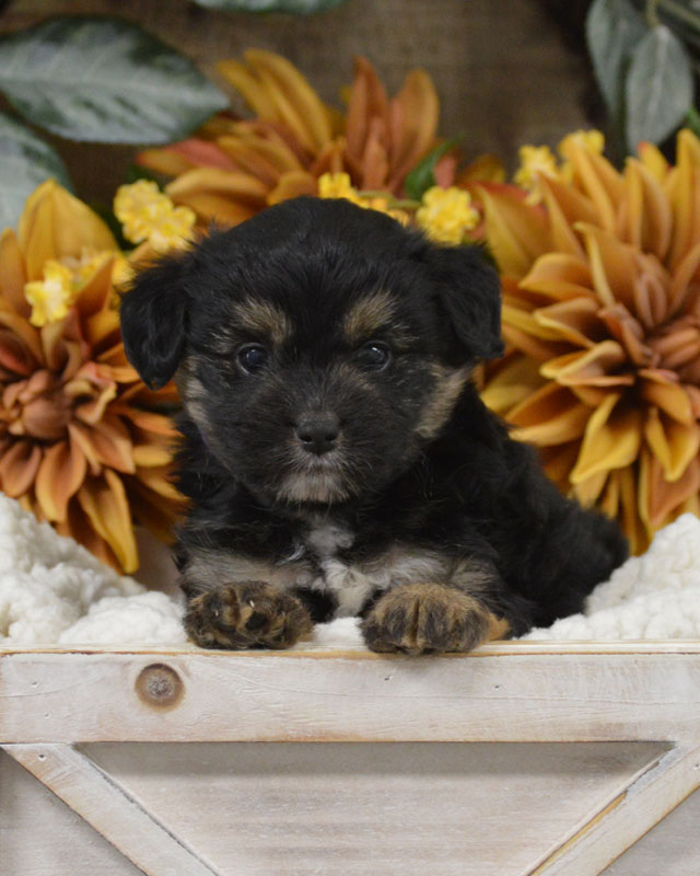 Available Mini Aussiedoodle And Mini Bordoodle Puppies For Sale By