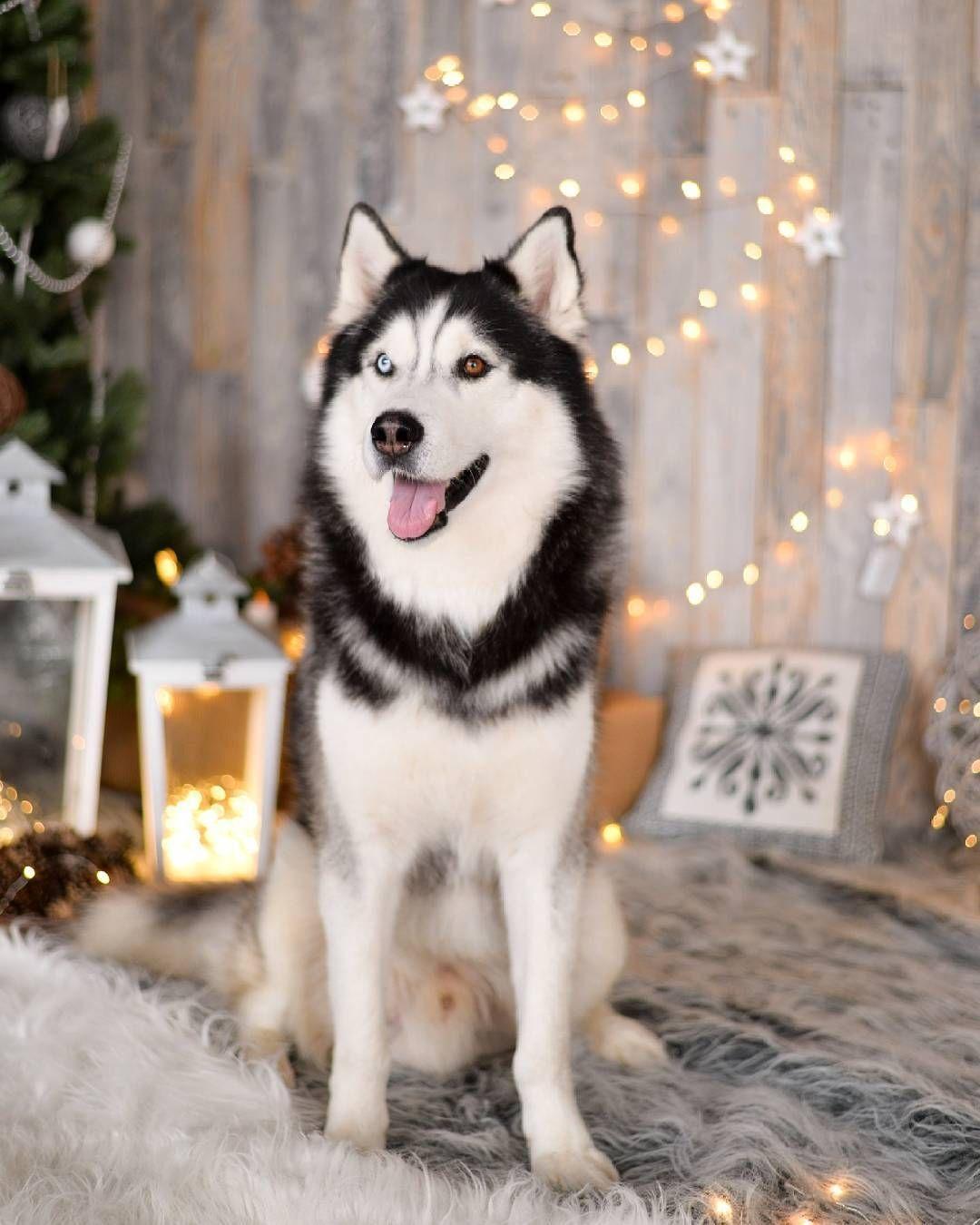 Millersville Md Siberian Husky Meet Lunala A Dog For Adoption