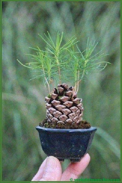 Cómo hacer un bonsái is part of Plants - as de Infantil y Primaria  Descarga Cómo hacer un bonsái