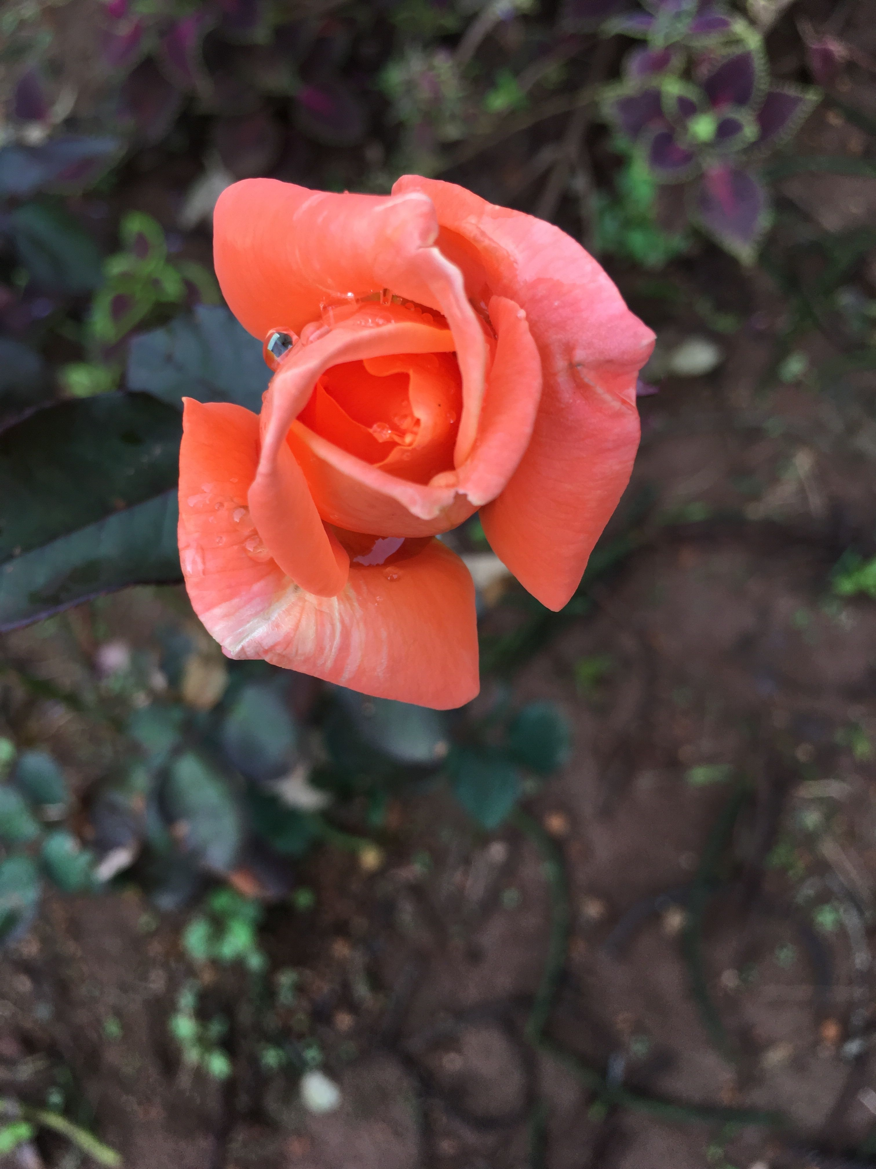 Pin By Robertha Moon On Roses Orange Roses Plants Rose