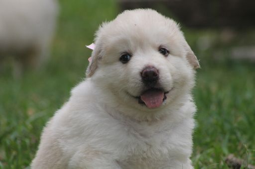 Litter Of 6 Anatolian Shepherd Great Pyrenees Mix Puppies For Sale
