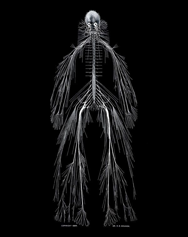 A Model Of The Human Nervous System Rufus Benjamin Weaver Md Scd