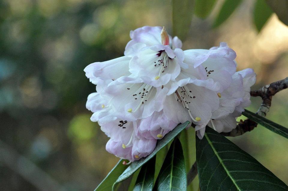 10 Rhododendron Protistum X R Grande In 1918 George Forrest