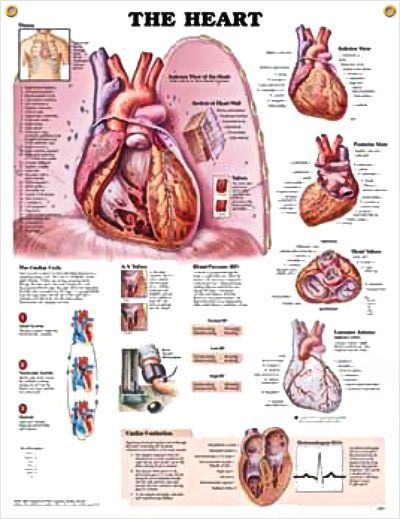 The Heart Chart 20x26 Ap Pinterest Heart Anatomy Anatomy And