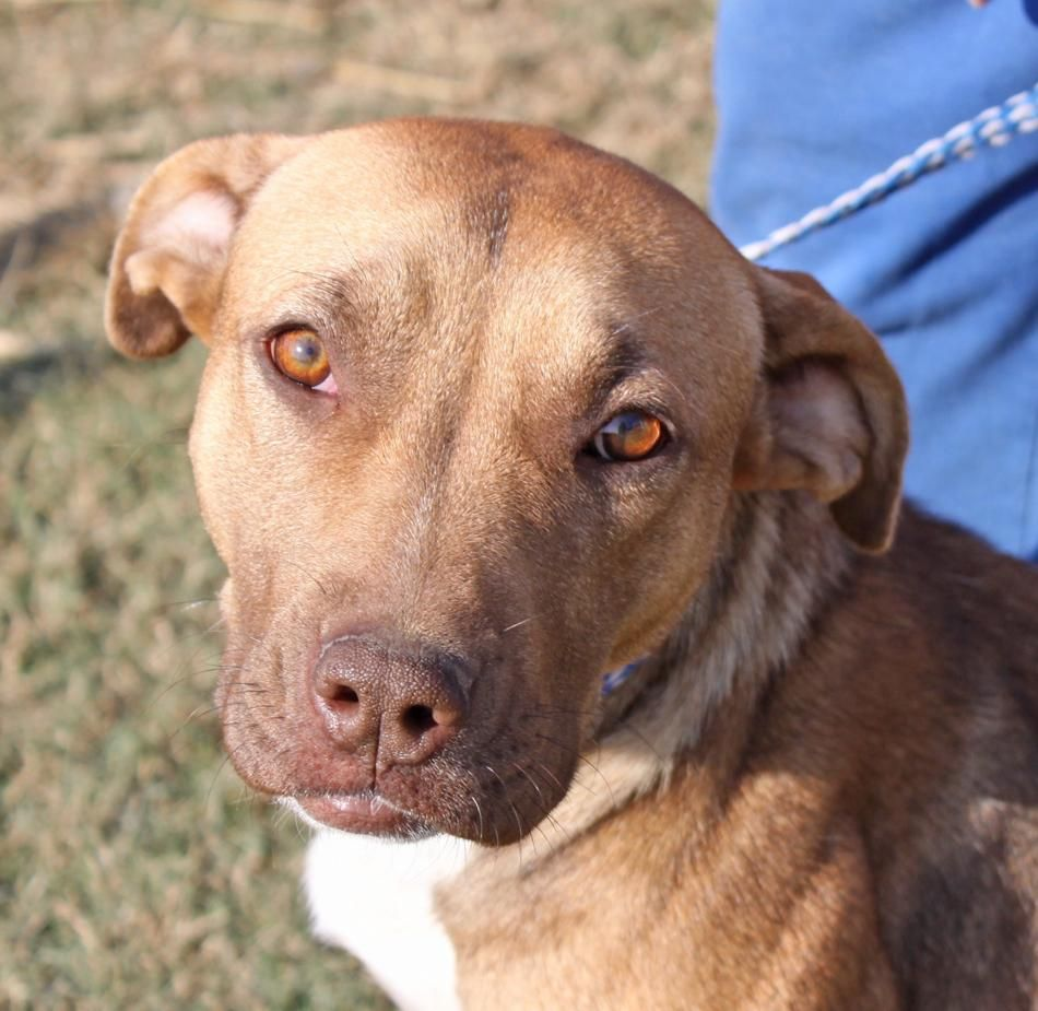 Adopt Penny on Petfinder Terrier mix dogs, Pitbull