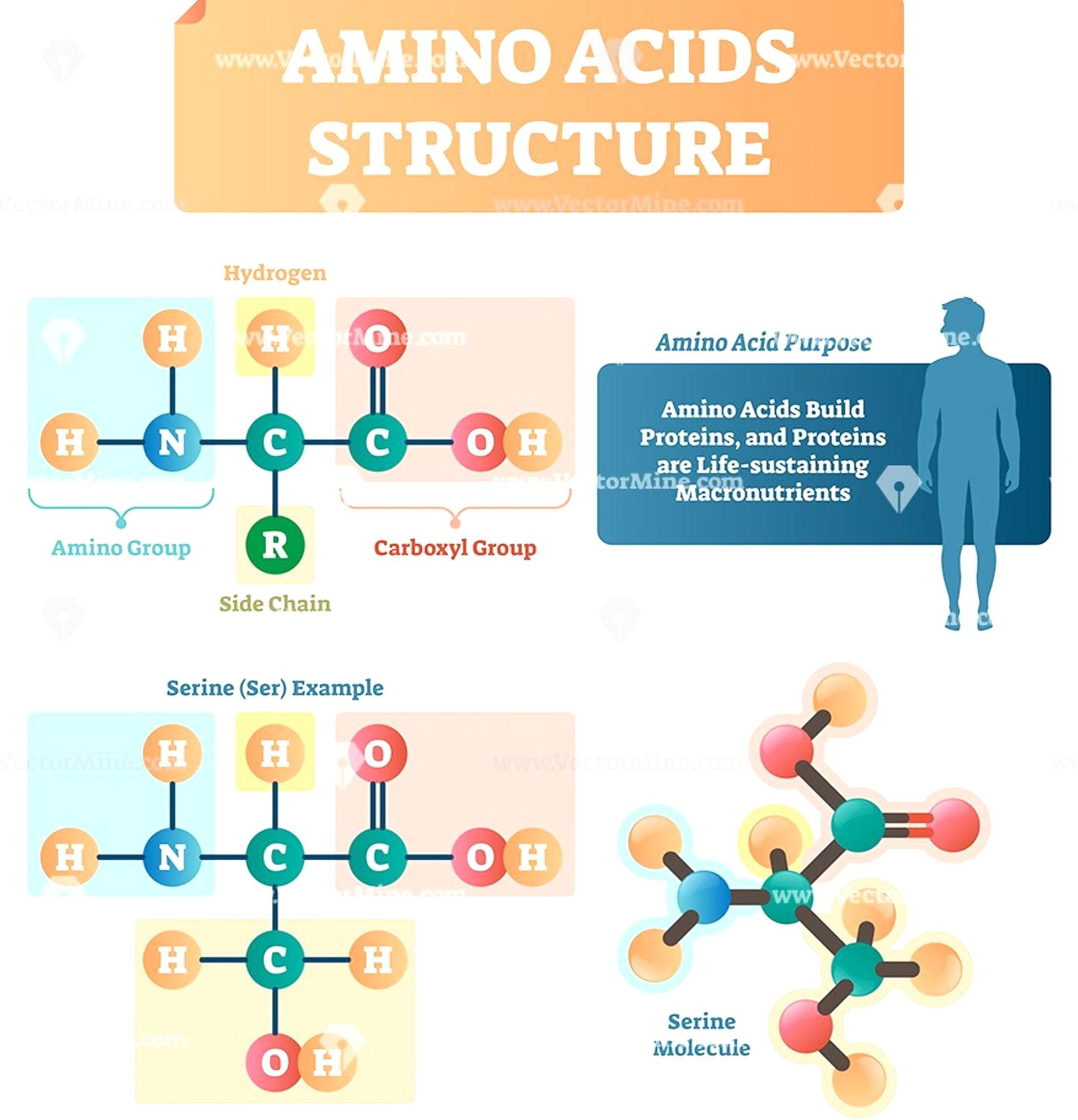 Amino Acids Structure Vector Illustration Infographic In