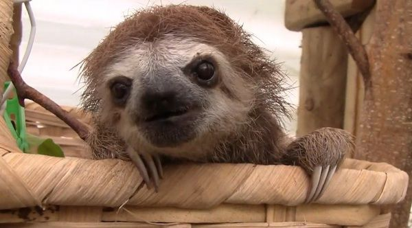 Sloths+don't+just+sit+around+all+day.+Sometimes+they+squeak.+Here's+proof.
