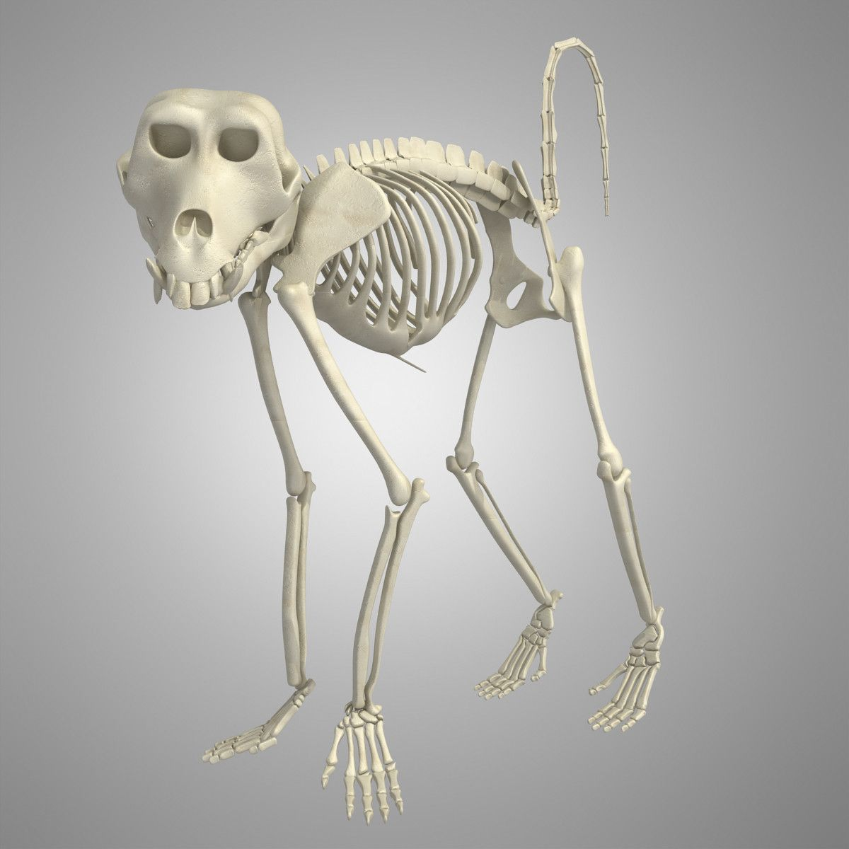 3d Skeleton Monkey Model Pinterest Skeletons Monkey