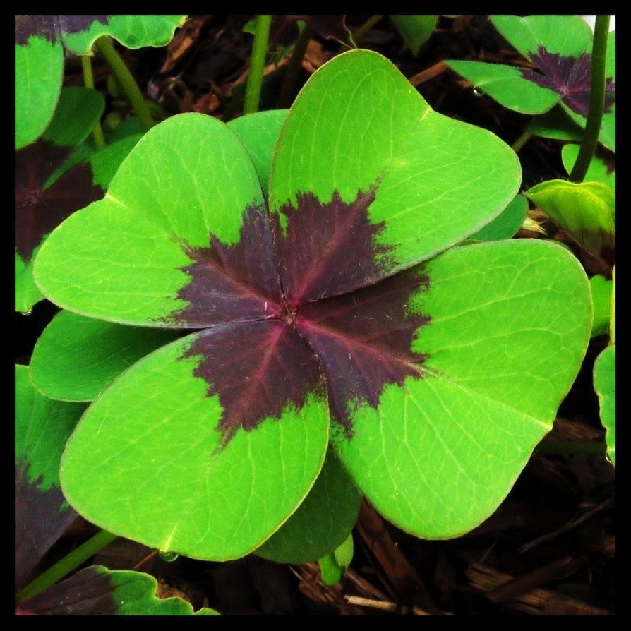 4 leaf clovers with flowers fake four leaf clover by pildik