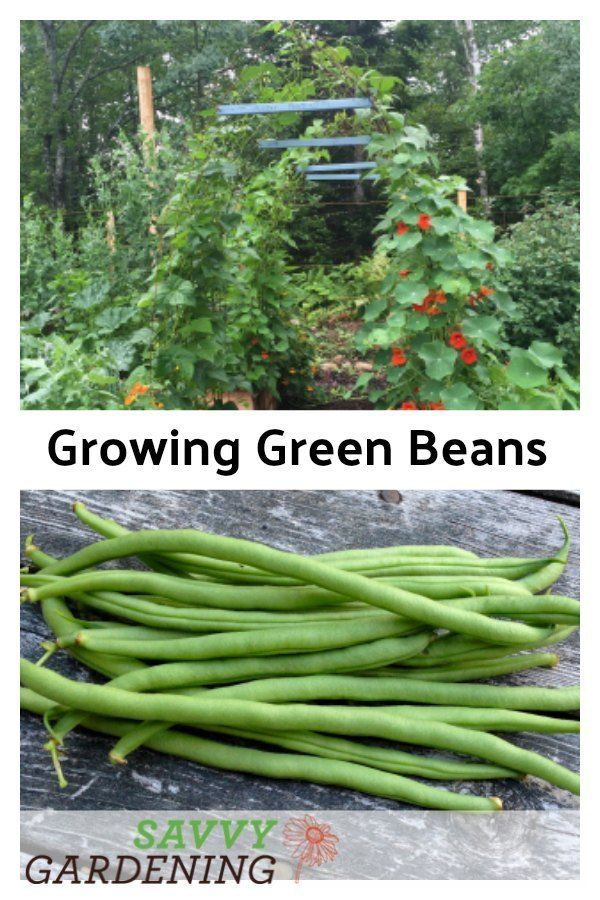 Growing Green Beans In Garden Beds And Containers Growing Green Beans Growing Greens Growing Vegetables