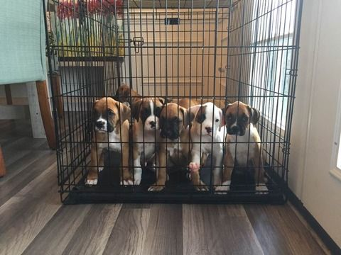 Litter Of 9 Boxer Puppies For Sale In Jacksonville Nc Adn 44959