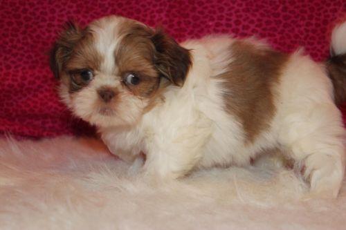 Adorable Chocolate And White Female Shih Tzu Puppy 850 Www Divinedesignshihtzu Com Shih Tzu Puppy Puppies Shih Tzu