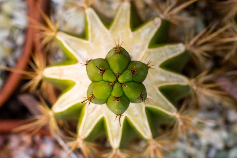 Trichocereus Bridgesii Nitrogen N1 Scion Top Down Shot Cactus And Succulents Succulent Gardening Succulents