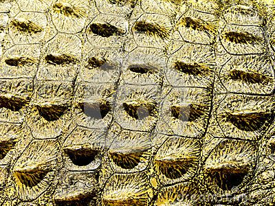 Crocodile Skin Crocodile Skin Nile Crocodile Crocodiles