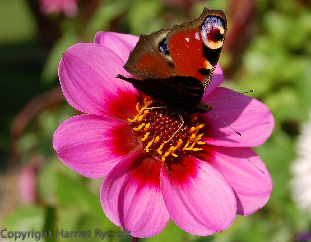 Peacock butterfly on Dahlia 'Wink' Peacock butterfly