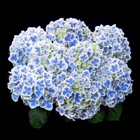 Hydrangea Tea Time Bavaria Blue Flower Names Hydrangea Macrophylla Hydrangea Flower