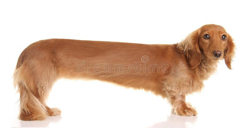Extra Long Dachshund Extra Long Only Slightly Distorted Long