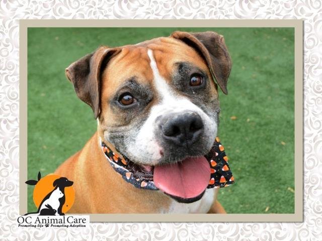 Bullboxer Pit dog for Adoption in Orange, CA. ADN705469
