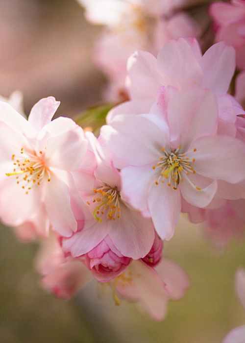 Cherry Blossoms In Spring Greeting Card For Sale By Joni Eskridge In 2021 Flowers Photography Flower Photos Beautiful Flowers