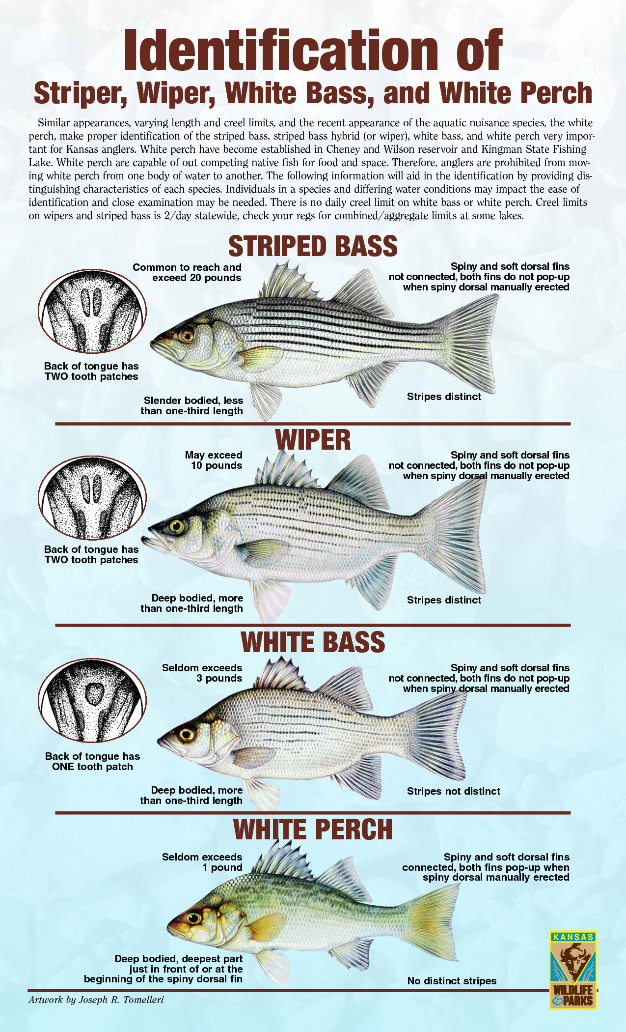 Striper hybrid white bass white perch fishing for White perch fishing rigs