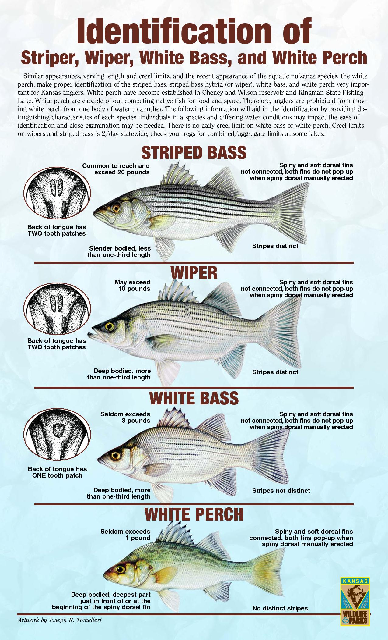 Striper hybrid white bass white perch white bass for White bass fishing