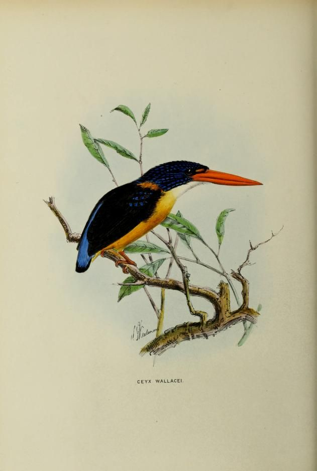 more@ - 1868 - A monograph of the Alcedinidae : or, family of kingfishers - by Sharpe, Richard Bowdler, 1847-1909