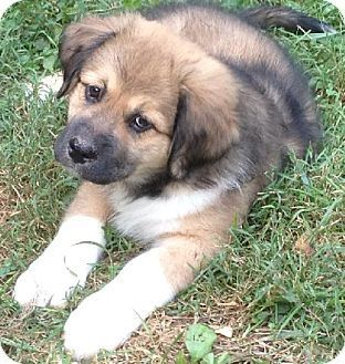 Saint Bernard Rottweiler Mix Puppies Rottweiler Mix Rottweiler