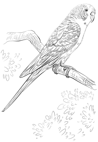 Budgie Parrot Coloring Page