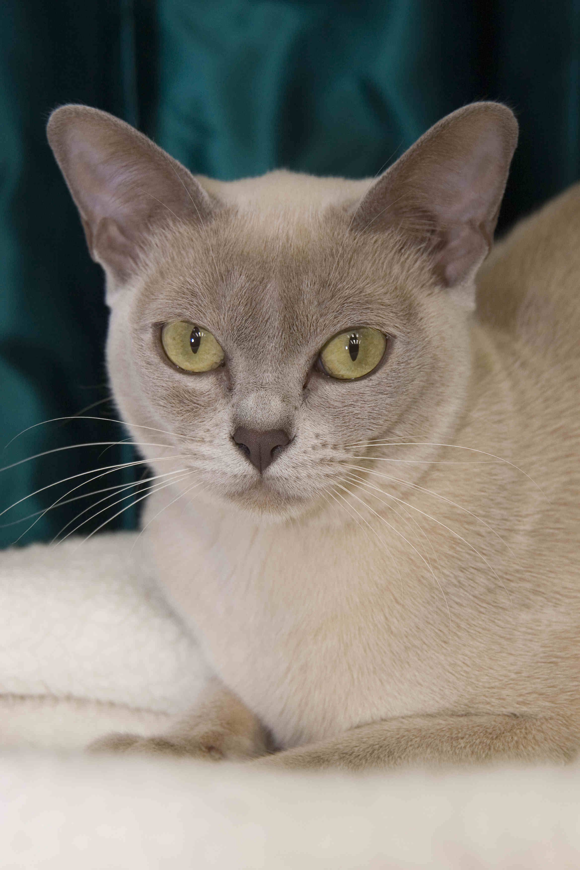 Sykris Burmese Cats Burmese cat, cats, Cats and