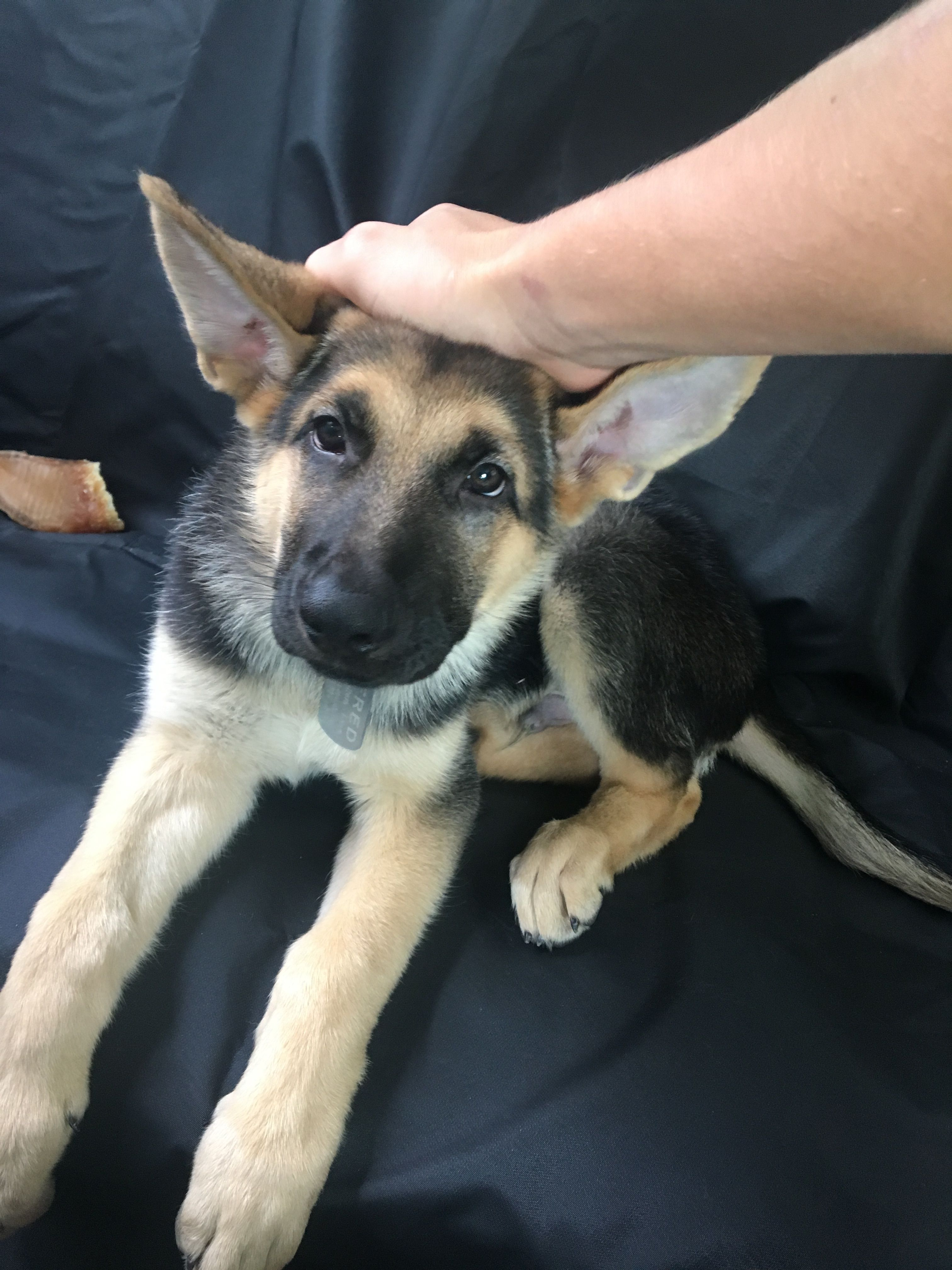 German Sheppard Puppy Puppies, Dogs, Animals