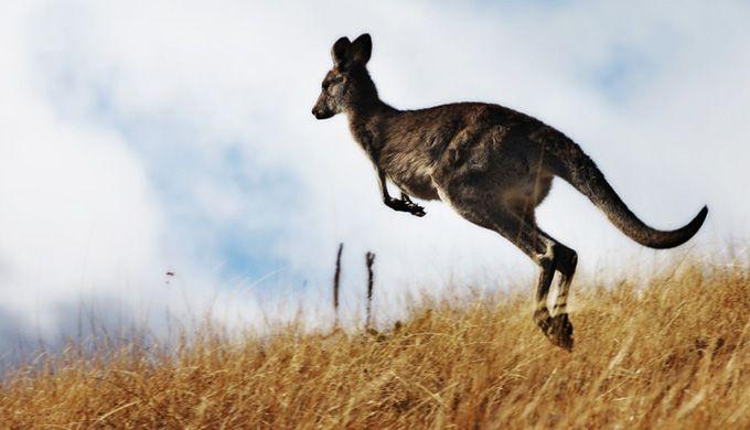 Kangaroos Gods amazing craftsmanship - creation.com