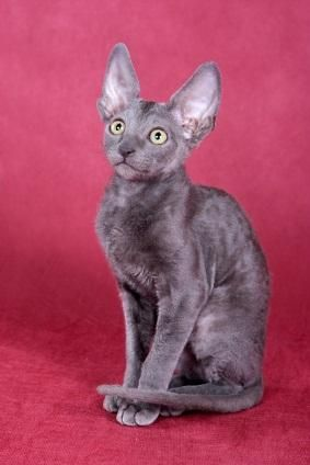 Kornish Rex Rex Cat Cornish Rex Cat Cat Breeds