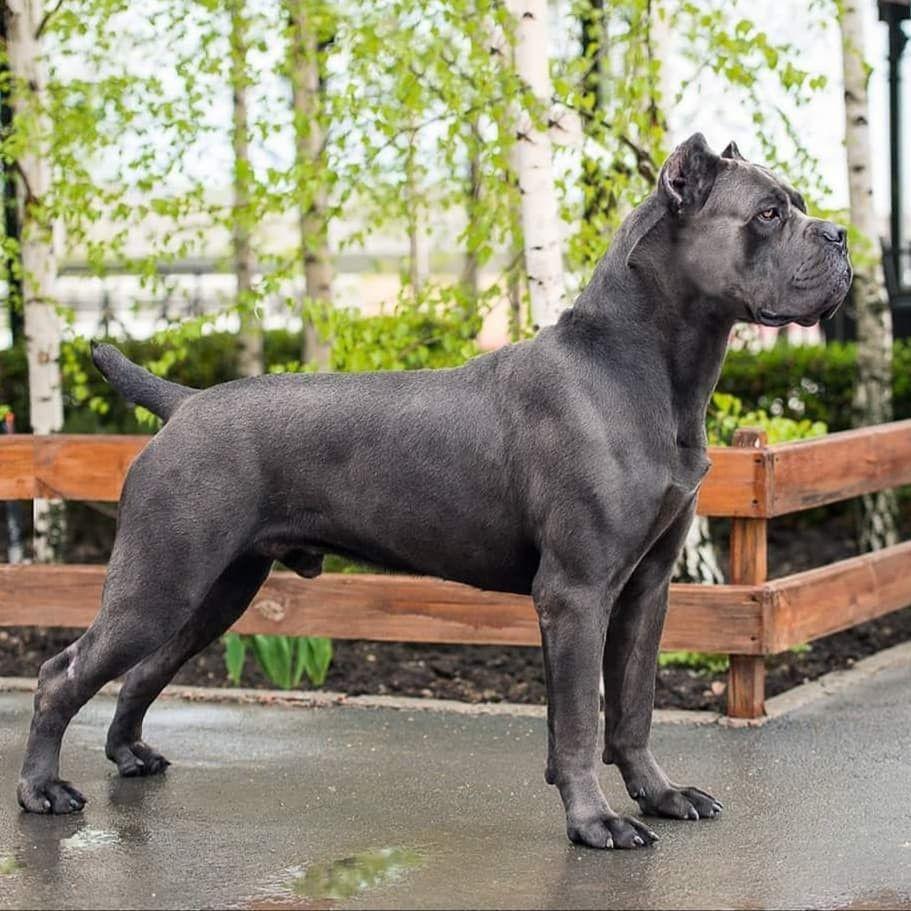 Akella 6 Years Old Cane Corso Canecorso From Texas Raymondesutton23 Cane Corso Dog Corso Dog Cane Corso