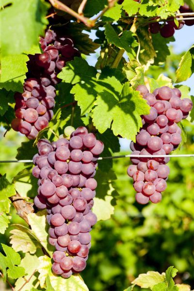Cold Hardy Grapes U2013 Choosing Grapevines For Zone 5 Landscapes