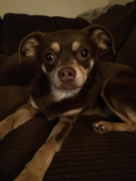 Adopt Monkey Boom Boom On Chihuahua Pug Mix Adoption Chihuahua
