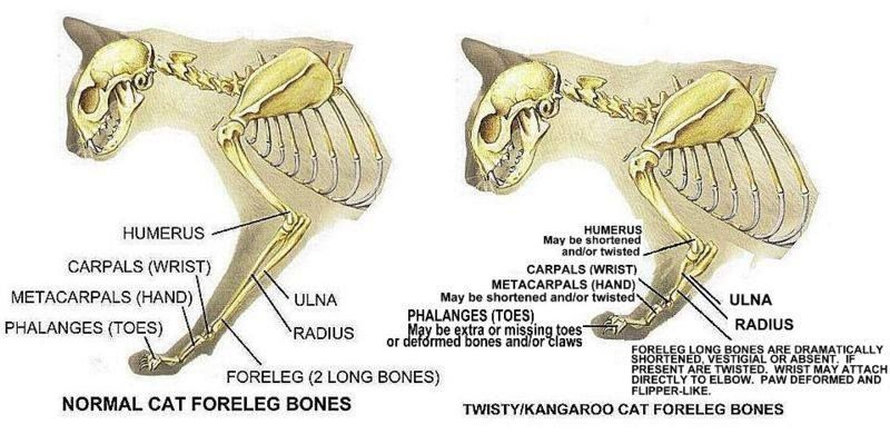 hipoplasia radial | gatos salud ^..^ | Pinterest | Salud y Gato
